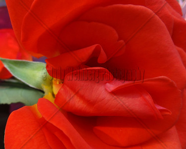 Wrapped Red Rose