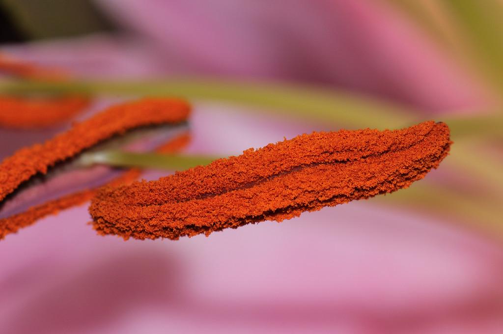 Stamen of a Stargazer Lily