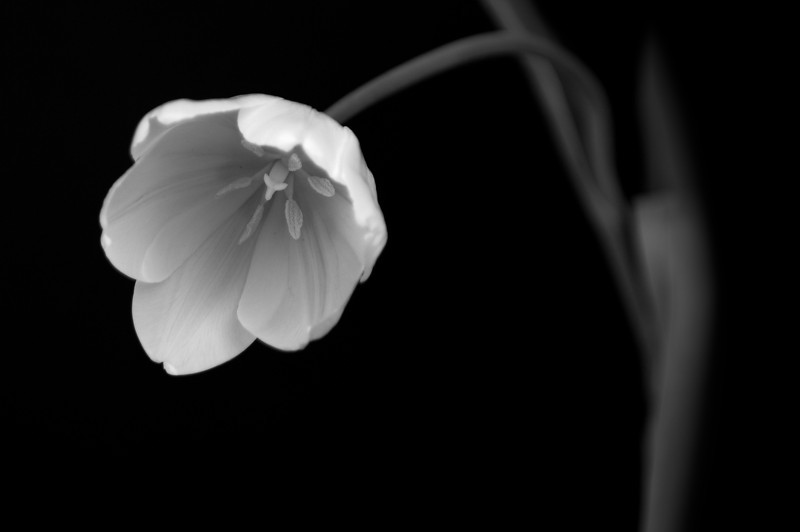 B/W Tulip