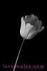 B/W Tulip 2