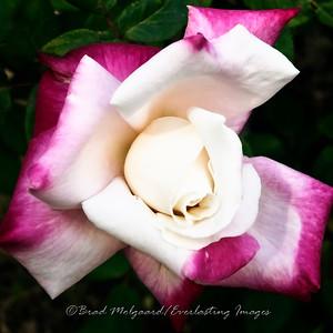 A rose at the St. Francis de Paula church in Tularosa, New Mexico