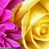 Yellow Rose, Pink Pteals