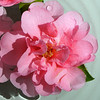 Camellia flower.<br /> Eryldene Historic House and Garden. Sydney Australia.