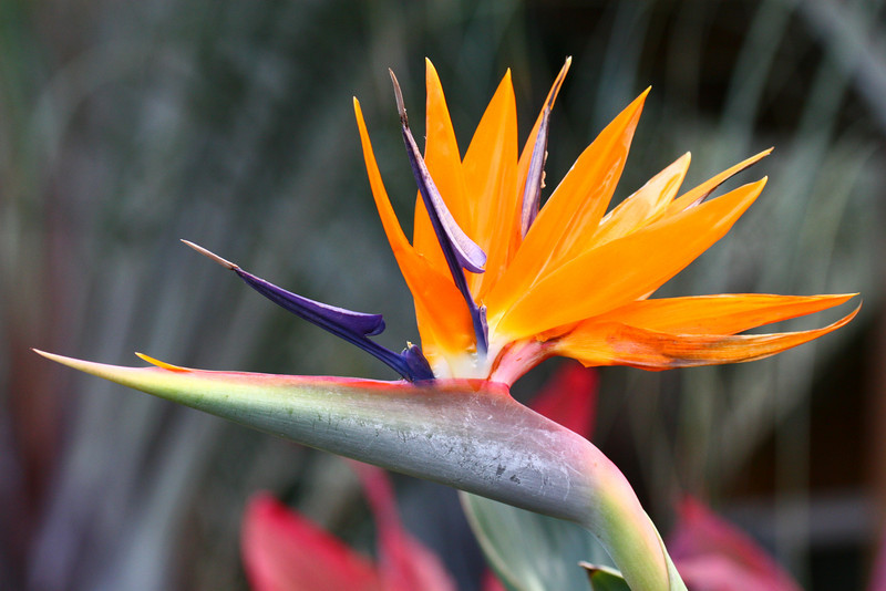 Bird of Paradise