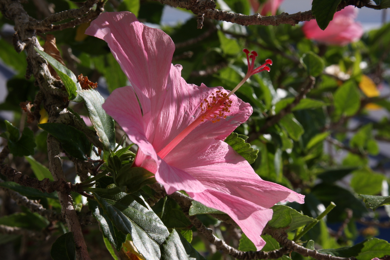 Pink Hibiscus from a tree at the Sponge Docks, Tarpon Springs, Florida.