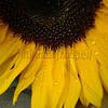 Misted Sunflower