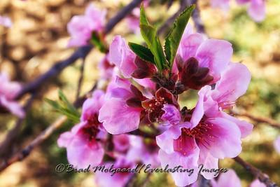 Peach Blossoms-Carlsbad, New Mexico