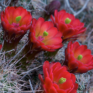 Desert flowers in bloom, from Zion National Park.