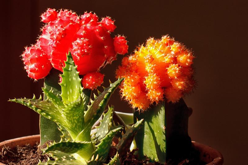 Red & Orange cacti