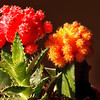 Red & Orange cacti