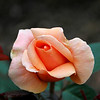 """Rose in Peach <br /> I like flowers with """"experience"""" such as this one"""