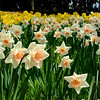 Daffodil Hill,<br /> Near Volcano, CA