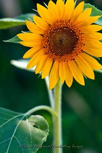 """Sunflower & Leaf Portrait"""