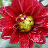 Red Flower After the Rain