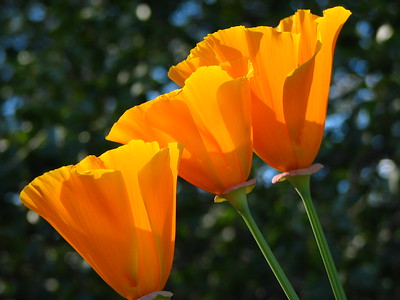 """Golden Poppies"""