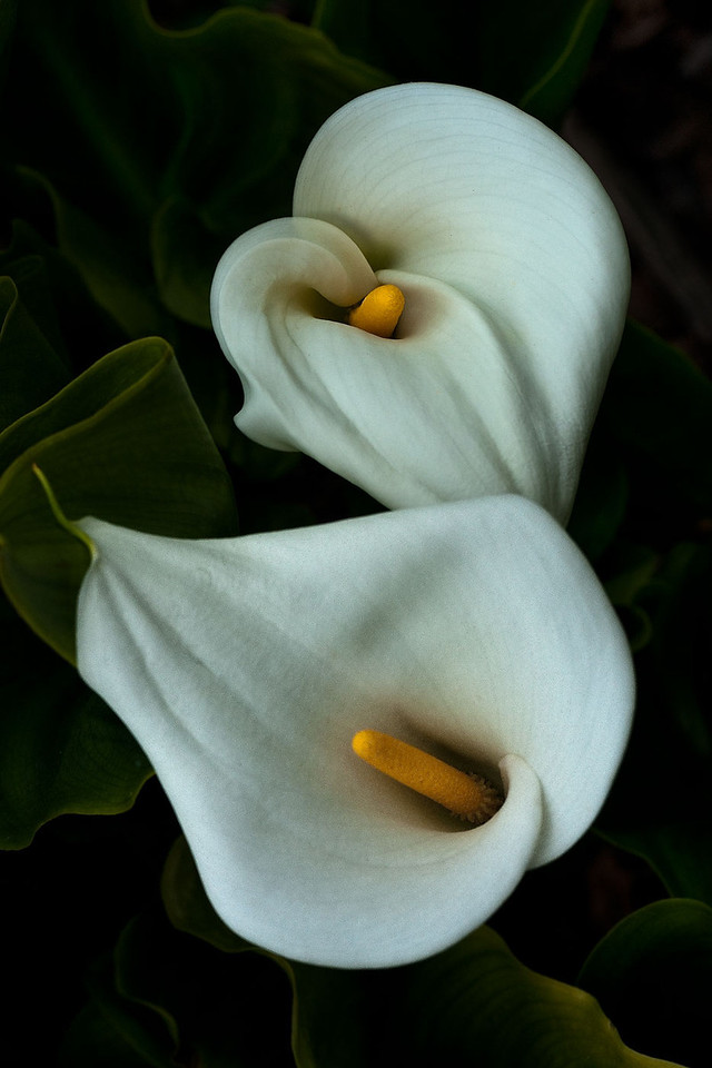 Cala lily in color