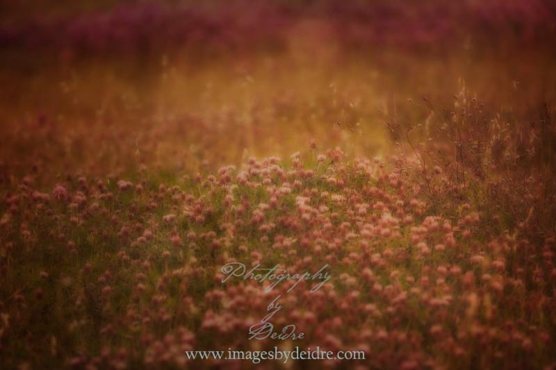 summer clover
