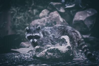Rocky Raccoon