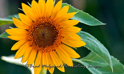 """""""Happiness is a Sunflower"""""""