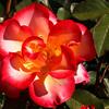 Milrose Inn Rose