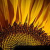 Quiet Sunflower