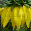 Sunflower After the Rain