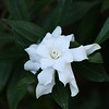 Gardenia close up.  Jim took this picture.