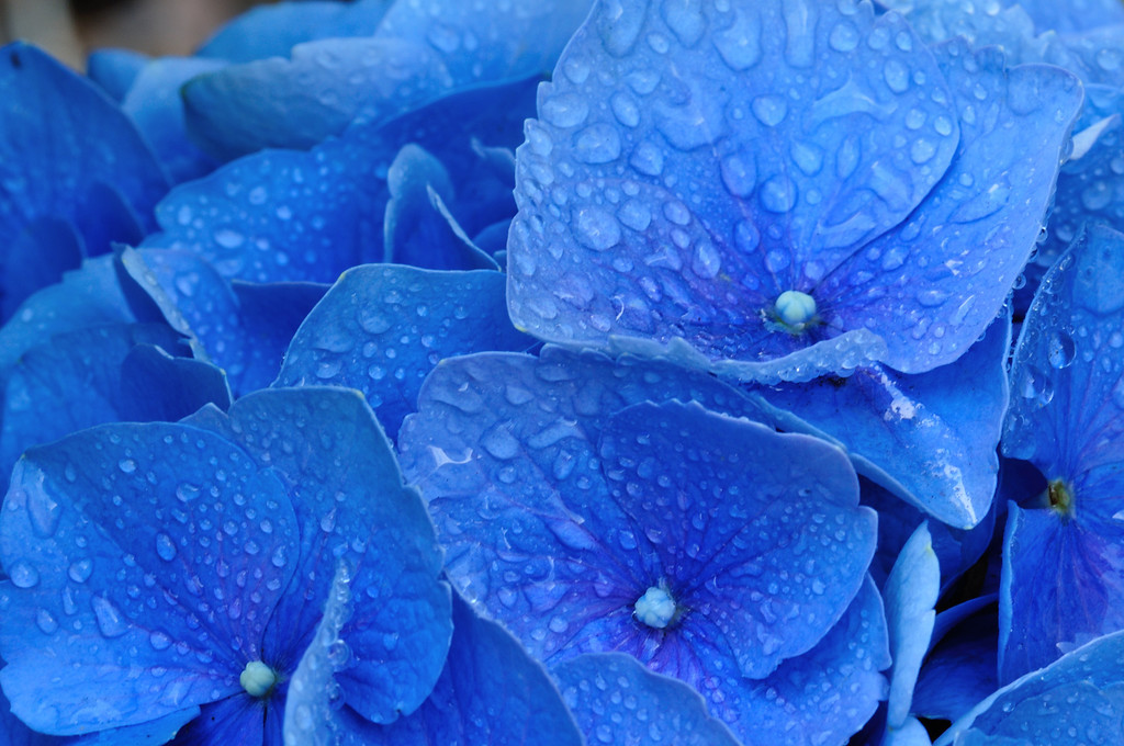Our Blue hydrangea