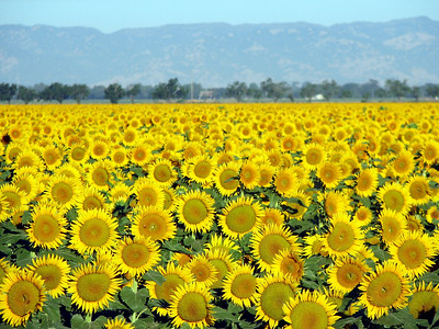 """""""Field of Gold"""""""
