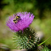 Landing<br /> A bee gathers pollen from thistle flower in Warner Valley.