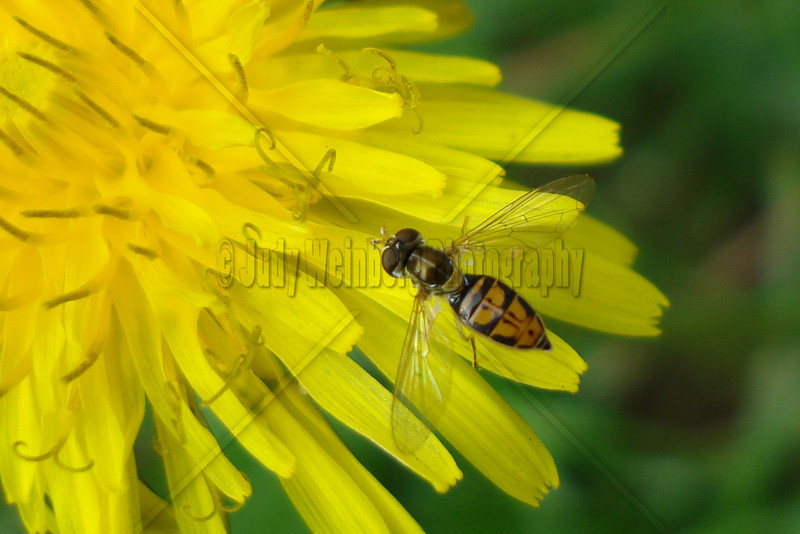 Dandelion and a Lil Hover Fly
