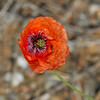 Red Poppy With Insect