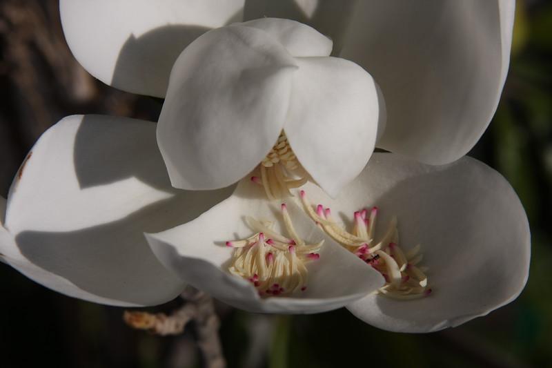 Magnolia - John Georgiou's tree.