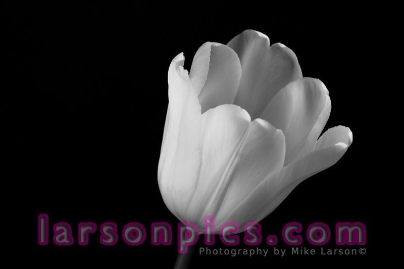 B/W Tulip 3