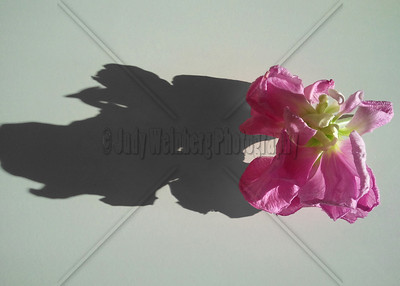 Flower in Shadow. Cell phone photo.