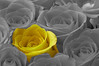 One Yellow Rose