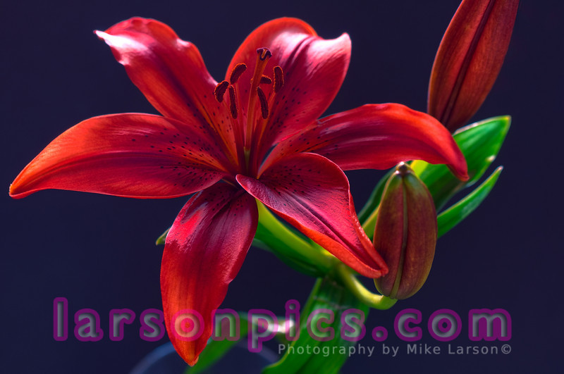 Burgundy Lily - HDR