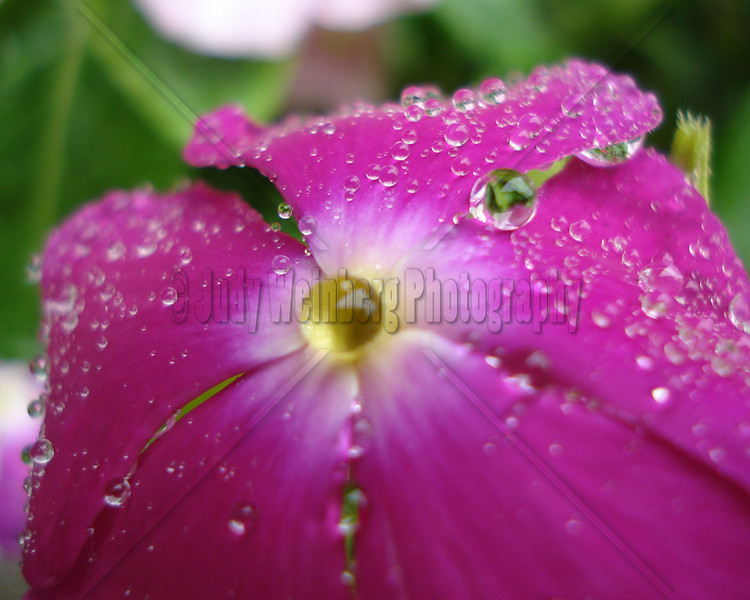 Water Droplets on Pink Flower