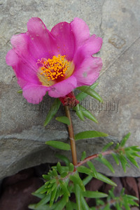 Pink Flower on Gray Rock
