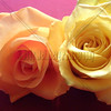 Peach Rose and Yellow Rose