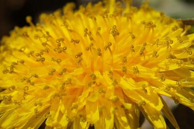 Dandelion Curliques