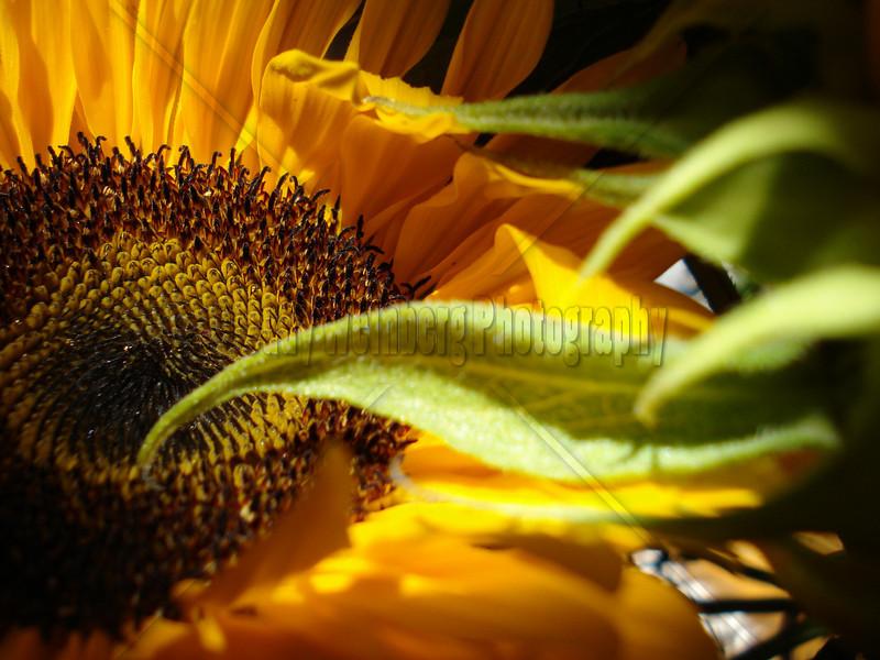 Soft Sunflower