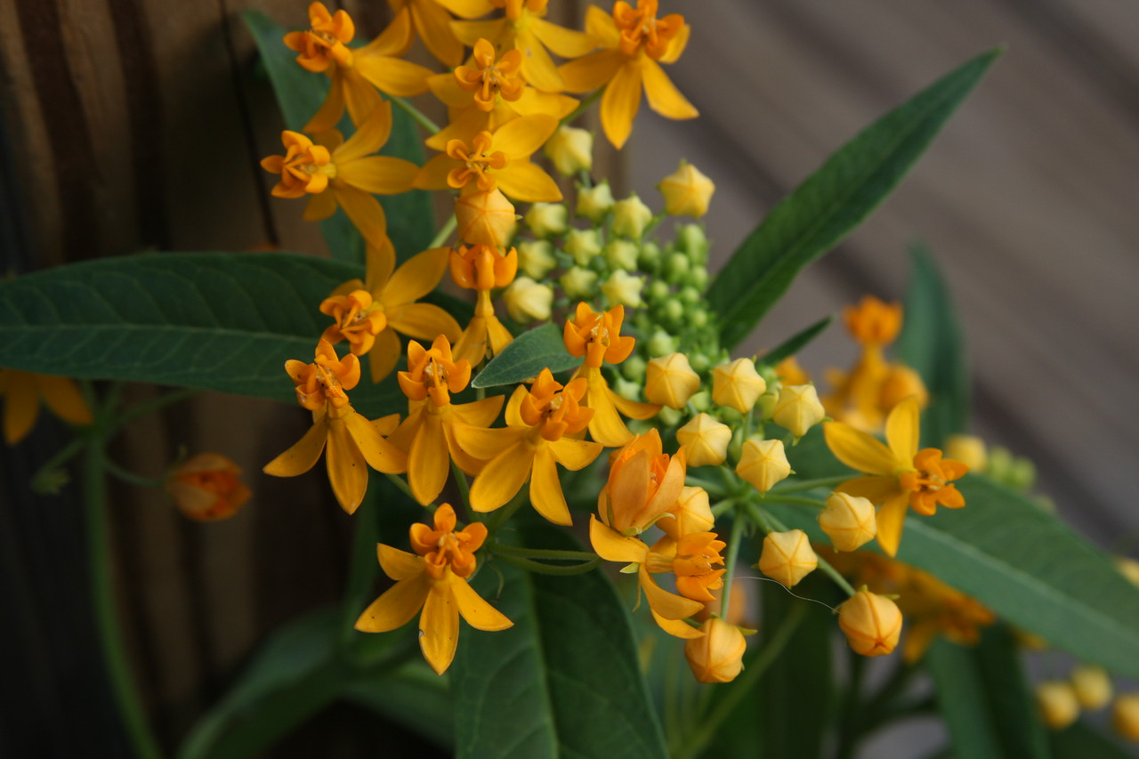 Milkweed. Picture taken at Jim and Andrew's home in Tampa, Florida.