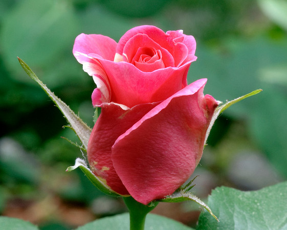 Candy Land rose