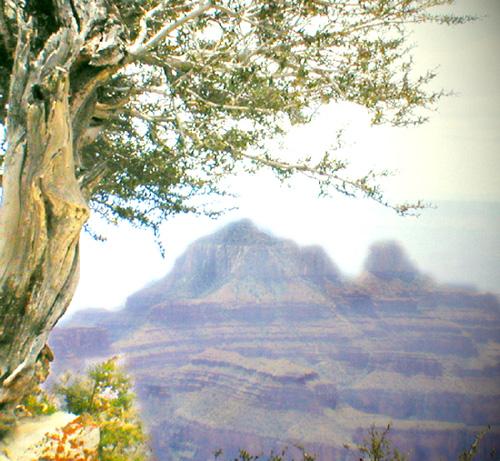 Tree, Grand Canyon, summer