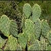Cacti, cactus,  Beavertail Cactus,