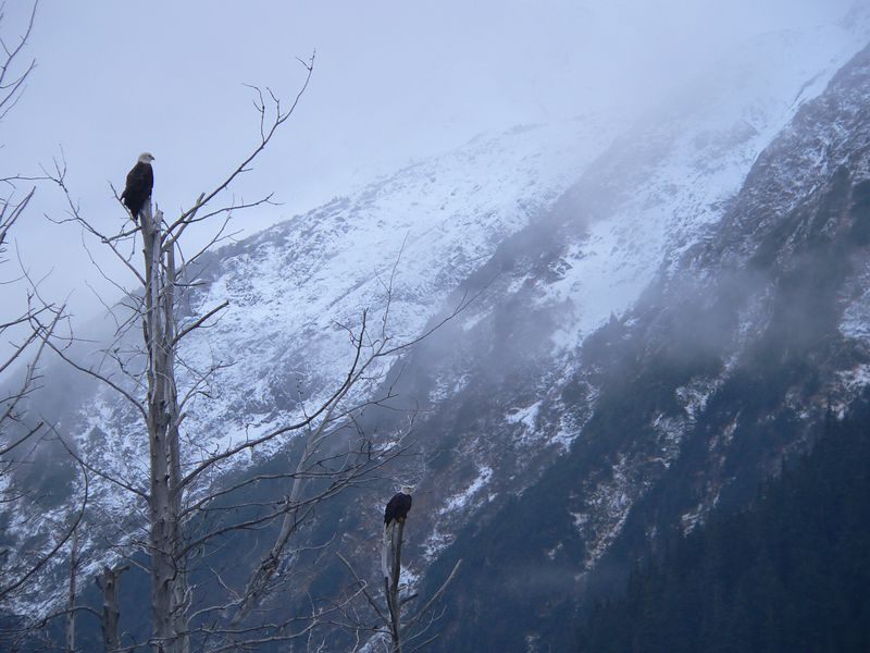 - and eagles in a pair (of) trees