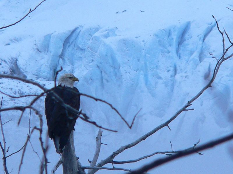 Eagle and Glacier