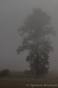 Foggy Cottonwood