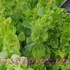 Farmers Market Lettuce